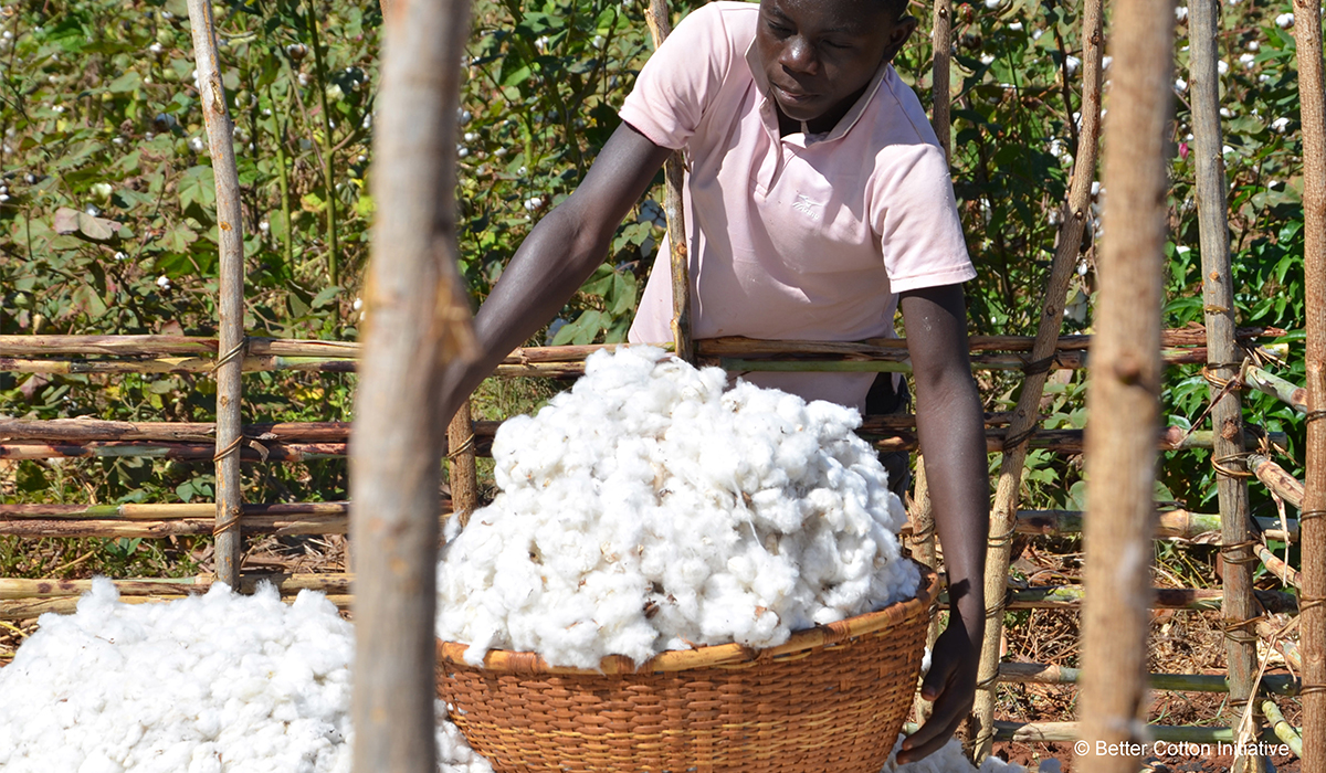 Man working in cotton field
